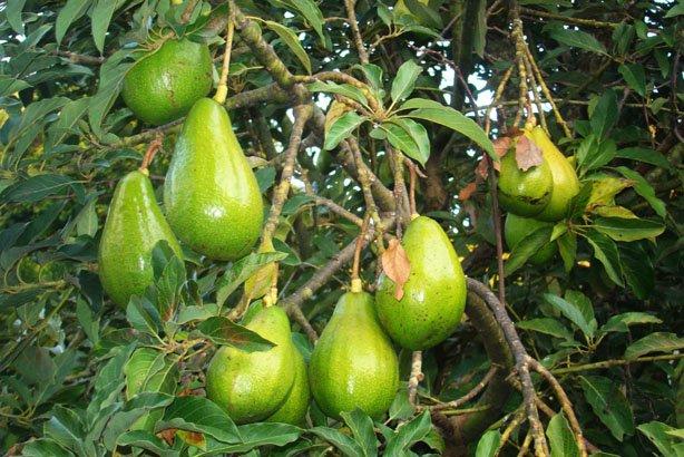 Guacamole - abacate