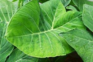 Taioba Verde