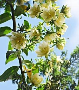 Flores de ora-pro-nobis